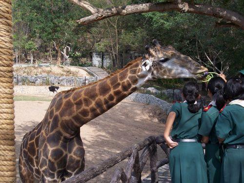 gorgeous-giraffe.jpg