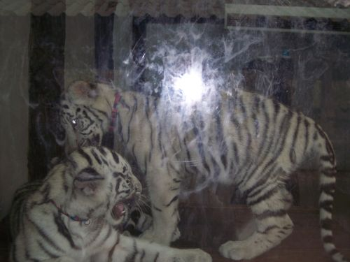 kawaii-white-tigers.jpg